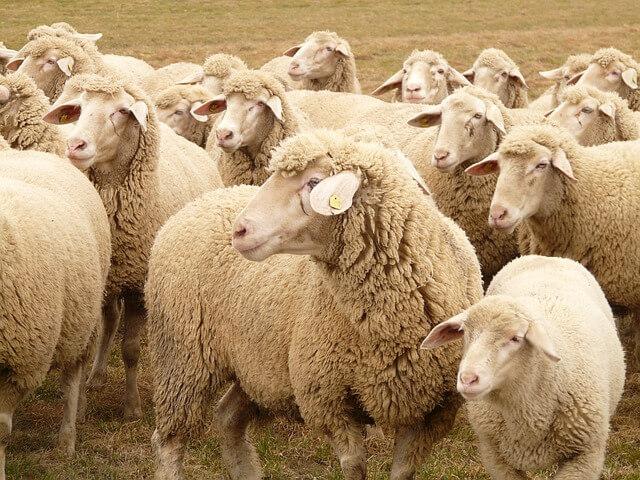 flock-of-sheep-49667_640