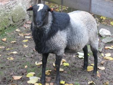 romanov sheep